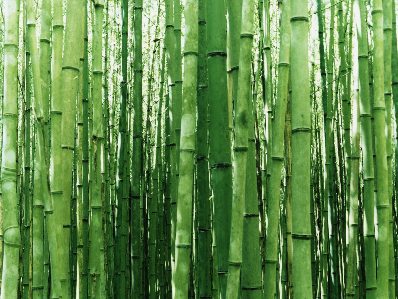 Vista Wallpapers – Textures » Vista Wallpaper Bamboo