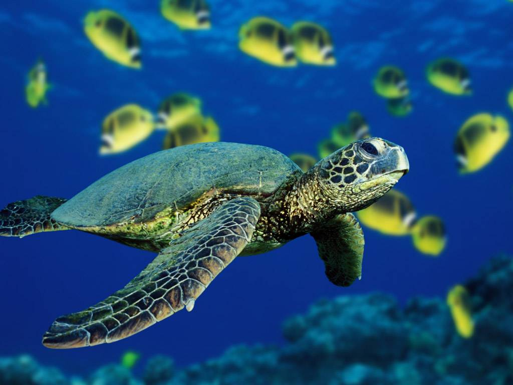 Vista Wallpapers – Various 2 » Vista Wallpaper Green Sea Turtle